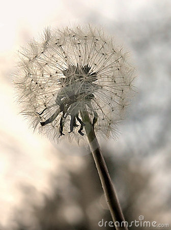 Free Dandilion Royalty Free Stock Images - 695159