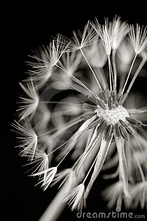 Dandylion in black and white