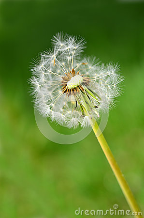 Dandylion Weeds