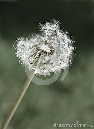 Free Dandylion Weeds Royalty Free Stock Photos - 25868588