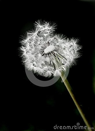 Free Dandylion Weeds And Black Background Royalty Free Stock Image - 50400246