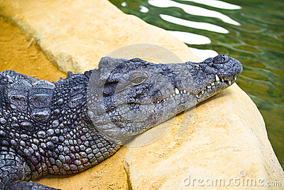 Dangerous alligator with closed mouth