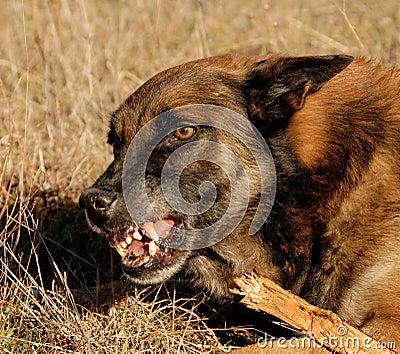 Dangerous belgian shepherd