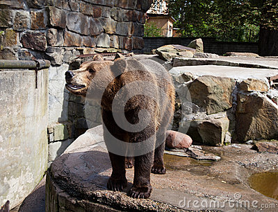 Dangerous brown bear