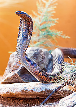 Free Dangerous Cobra On Rock Stock Images - 62762504