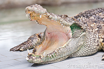 Dangerous Crocodile