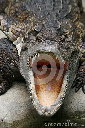 Free Dangerous Crocodile Stock Image - 39634611