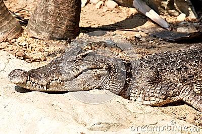 Dangerous crocodiles in a farm, Thailand