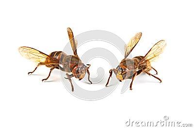 Dangerous hornet