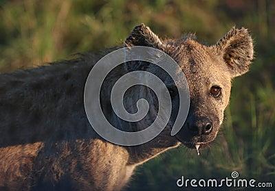Dangerous Nocturnal Predator