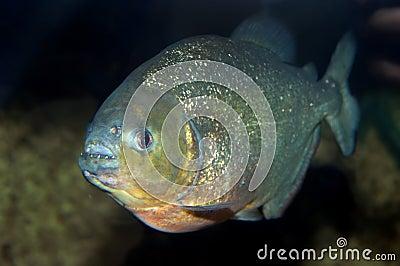 Dangerous Piranha