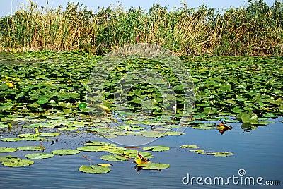 Danube Delta lilies