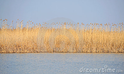 Danube delta reed