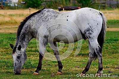 Dappel Grey Horse