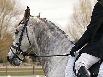 Dapple Dressage-Pferd