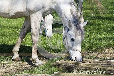 Dapple-grå häst
