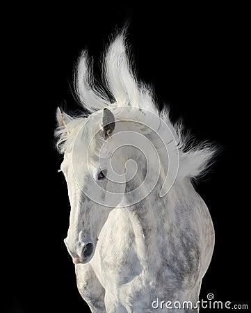 Dapple gray stallion