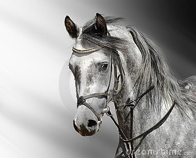 Dapple-grey horse (arabian)