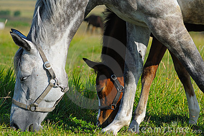 Dapple-grey mare and bay foal