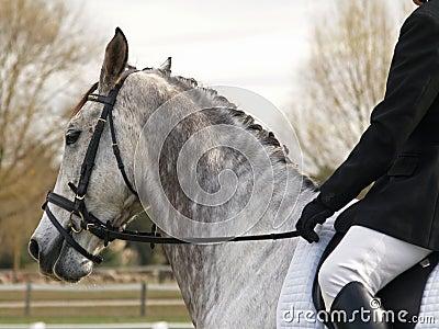 Dapple o cavalo do Dressage
