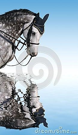 Dapple szarego konia