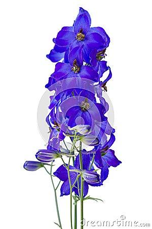 Dark blue delphiniums