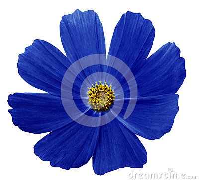 Free Dark Blue Flower Kosmeja White Isolated  Background  With  Clipping Path.  No Shadows. Closeup. Stock Image - 97451581