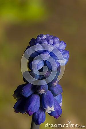 Dark blue flower of Muscari