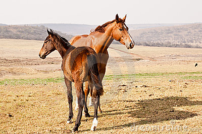 Dark brown and chestnut horses
