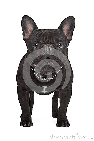 Dark brown French bulldog