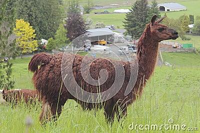 Dark Brown Lama