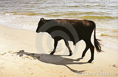 Dark bull on beach