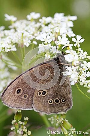 Dark butterfly