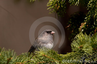 Dark-eyed Junco bird