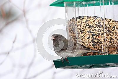 Dark Eyed Junco at bird feeder