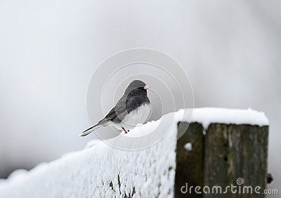 Dark-eyed Junco in Snow