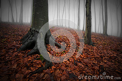 Dark forest with fog, red leaves and trees with big roots on halloween