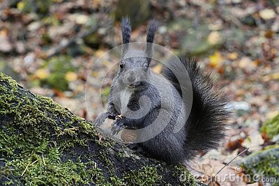 A dark gray or black squirrel holds nut or grain in its paws,process of eating, lunch time, against the background of fallen Stock Photo