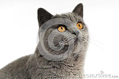 Dark gray cat