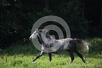Dark gray horse galloping at the field