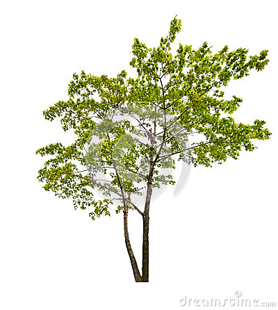 Dark green isolated maple tree
