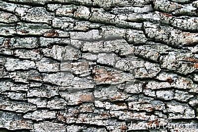 Dark hardwood cortex