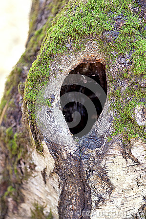 Dark hollow of old birch tree