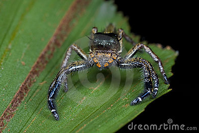 A dark jumping spider