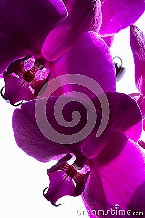 Dark Magenta Orchids