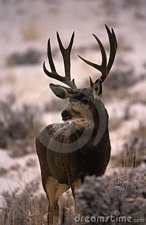 Dark Mule Deer Buck