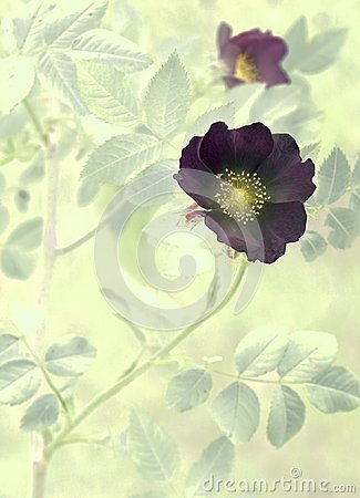 Dark mystic dog rose