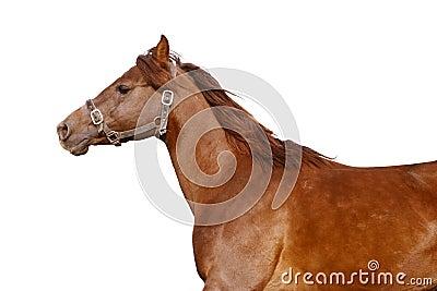 Dark orange arabian horse isolated on white
