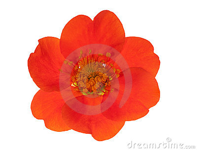Dark orange flower isolated on white