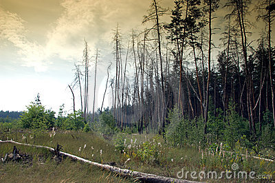 Dark pine forest